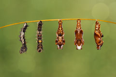 Transformation mature caterpillar to pupa of the commander butte. Rfly Moduza procris hanging on twig royalty free stock images