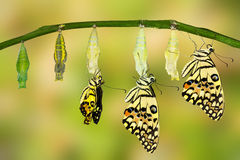 Free Transformation Of Lime Butterfly Stock Images - 67660164