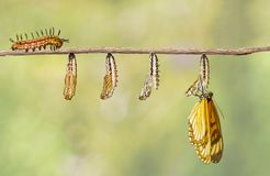 Transformation of yellow coster butterfly Acraea issoria fro. M caterpillar and chrysalis hanging on twig , growth , metamorphosis , transformation stock photos
