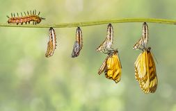 Transformation of yellow coster butterfly Acraea issoria fro. M caterpillar and chrysalis hanging on twig , growth , metamorphosis , transformation royalty free stock image