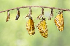 Transformation of yellow coster butterfly Acraea issoria fro. M caterpillar and chrysalis hanging on twig , growth , metamorphosis stock photography