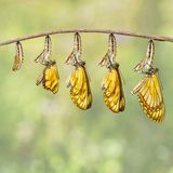 Transformation of yellow coster butterfly Acraea issoria fro. M caterpillar and chrysalis hanging on twig , growth , metamorphosis stock photos