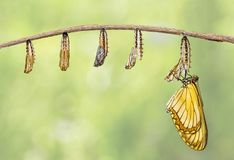 Transformation of yellow coster butterfly Acraea issoria fro. M caterpillar and chrysalis hanging on twig , growth , metamorphosis royalty free stock images