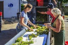 Transformer les raisins moissonnés photos stock