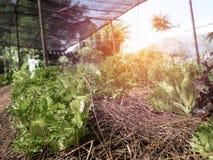 Transformez la salade végétale dans une ferme naturelle photos stock