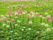 Transformez les fleurs dans la pelouse verte fraîche, il regarde la régénération, belle en été image stock