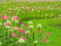 Transformez les fleurs dans la pelouse verte fraîche, il regarde la régénération, belle en été photo stock