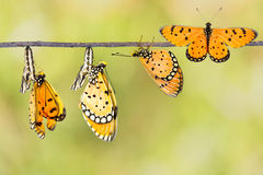 Transfromation of Tawny Coster butterfly. From coocon royalty free stock photos