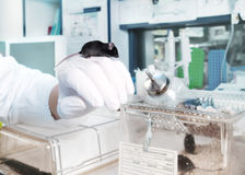Transgenic mouse in modern laboratory Stock Photography