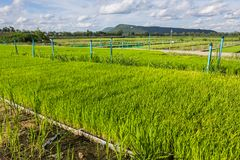 Transgenic rice Stock Photography
