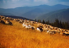 Transhumance Stock Photo