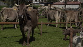Transhumance in the Alps: a cattle watching around,. A cow trying to figure out what's going on stock video footage