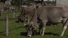 Transhumance in the Alps: cowbells and bellows concert . stock video