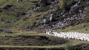 Transhumance in the Alps. Flock moving, clip 2: the tail of the herd. stock video footage