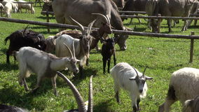 Transhumance in the Alps: goats, cattles and sheeps. Cows, goats and sheeps during the autumn  transhumance in the italian Alps stock video
