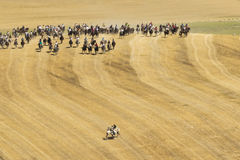 Transhumance of cattle in Spain Stock Photo