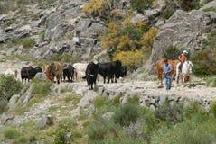 Transhumance in de Siërra DE Gredos avila spanje royalty-vrije stock afbeeldingen