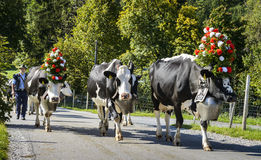 Transhumance event in Charmey Royalty Free Stock Images