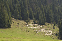 Transhumance - Romanian sheepman with his herd. A herd of sheep with their sheepman up in the mountains Royalty Free Stock Photos