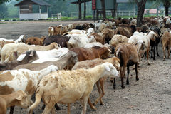 The transhumance, Group of Farm Animals Stock Photography