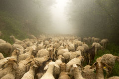 The transhumance Stock Photo