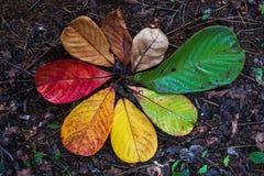 Transición de la hoja de Autumn Maple y concepto de la variación para la caída y el cambio de la estación Fotografía de archivo