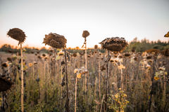 Transience. Withered sunflower in the autumn evening sun Royalty Free Stock Photo