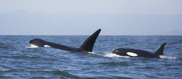 Free Transient Killer Whales Stock Photo - 76873230