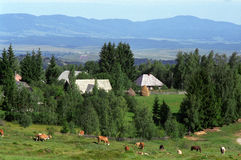 Transilvanian village. And meadow with cows Royalty Free Stock Photo
