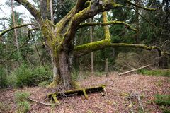 Transistoriness of being -Signs of the times. An old moss coverd tree with a fallen bench in Autumn stock photography