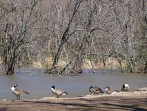 In Transit Canadian Geese Stop Over To Rest royalty free stock images