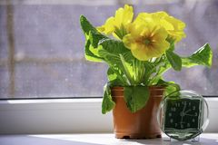 The transition to summer time, the arrival of spring, the clock standing on the sun-drenched window-sill next to the yellow flower stock images