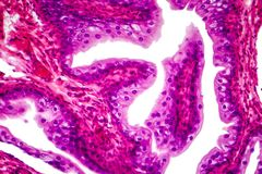 Transitional epithelium tissue. Of the urinary bladder under microscope, light micrograph, hematoxylin eosin staining stock image
