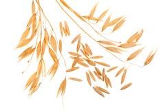 Transitoire d'avoine avec des grains d'isolement sur le fond blanc photo libre de droits