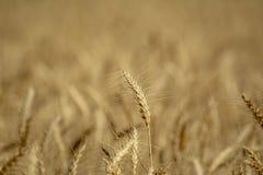 Transitoire d'or de blé photographie stock libre de droits