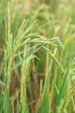 Transitoire dans le domaine de riz images libres de droits