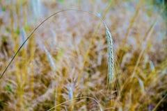 Transitoire de abattement de blé sur le champ photographie stock libre de droits
