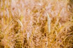 Transitoire de abattement de blé sur le champ photos stock