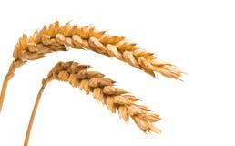 transitoire de blé d'isolement photos stock