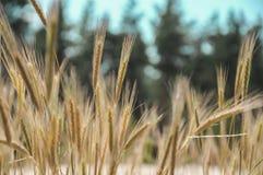 Transitoire de blé un jour ensoleillé Photo libre de droits