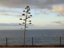 Transitoire de fleur d'agave sur la côte de la Madère image stock