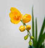Transitoire de fleur de freesia jaune photos libres de droits