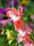 Transitoire de fleur de Gladiolus de rose saumoné photographie stock