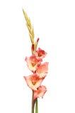 Transitoire de fleur de Gladioli photographie stock libre de droits