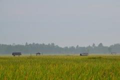 Transitoire de riz au matin photographie stock