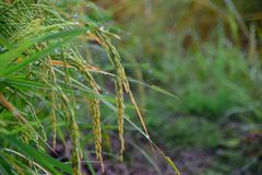 Transitoire de riz au matin image libre de droits