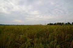 Transitoire de riz au matin image stock