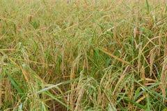 Transitoire de riz au matin images libres de droits