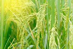 Transitoire de riz avec la baisse de l'eau dans le domaine de riz image libre de droits