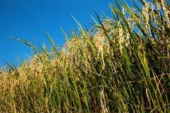 Transitoire de riz dans le domaine de riz image libre de droits